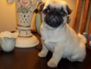 Adorable Male and female Pug puppies for a home in need